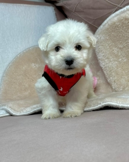 Mini Boy Maltese Yavrular